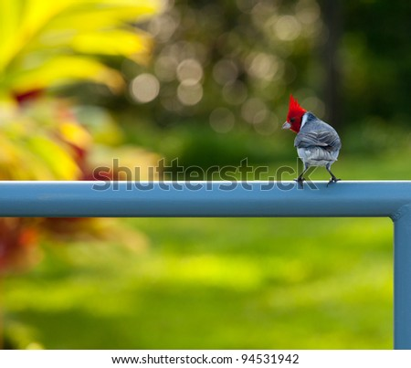 Red crested or brazilian cardinal bird on fence in garden near Kilauea bird sanctuary in Kauai