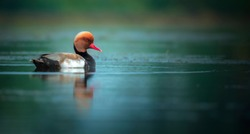Red crested pochard floated in the lake.