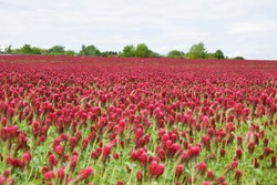 Red crimson clover blossom flowers with sky background. This is Trifolium incarnatum or Italian clover)