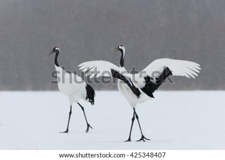 Shutterstock Red Crown Cranes (Grus japonensis) - Displaying to Partner