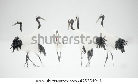 Shutterstock Red Crown Cranes (Grus japonensis) - Group in the Snow