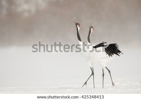 Shutterstock Red Crown Cranes (Grus japonensis) - Two Birds a Calling
