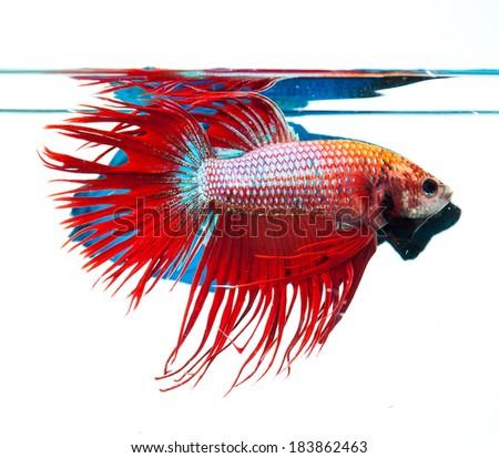Red crown tail siamese fighting fish, betta splendens.