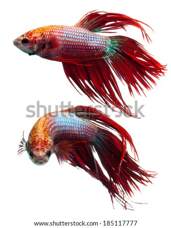 Red crown tail siamese fighting fish, betta splendens.