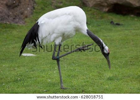 Shutterstock Red-crowned crane (Grus japonensis), also known as the Japanese crane or Manchurian crane.