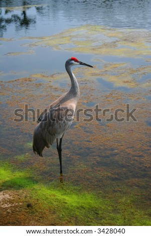 Red crowned crane in the water