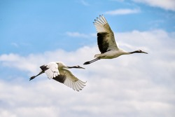 Red crowned crane in Zhalong Nature Reserve Qiqihar city Heilongjiang province, China.