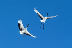 Red crowned cranes (grus japonensis) in flight with outstretched wings against blue sky, winter, Hokkaido, Japan, japanese crane, beautiful mystic national white and black birds, elegant animal