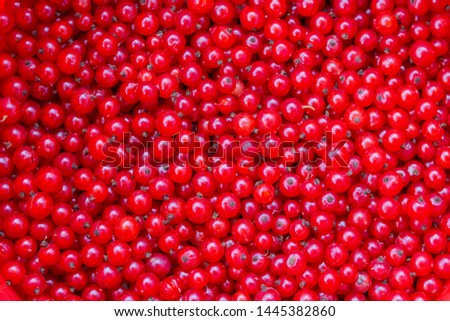 Red currant background wallpaper banner. A lot of red berries of ripe currants. Garden Farming Organic Organic Sour Sweet Redcurrant, A Group of Red Berries
