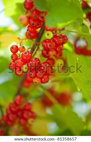 Red currant berries close-up on green leaves