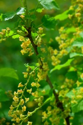 Red currant blossoms in the garden. Stock Image