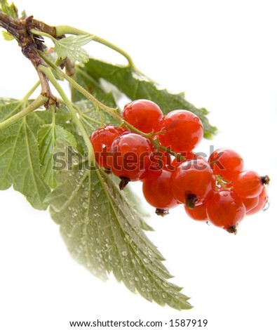 Red currant on white with drops of water