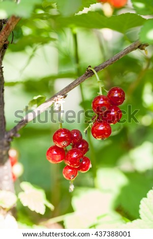 Red currants on the branch in the garden #437388001