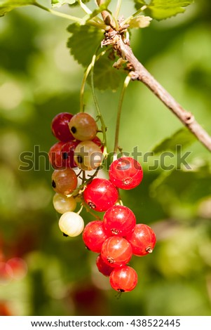 Red currants on the branch in the garden #438522445