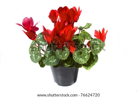 red cyclamen flower isolated on white background