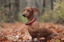 red dachshund in the autumn forest