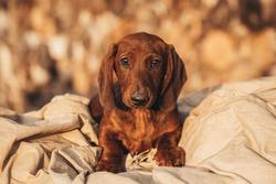 red Dachshund puppy. Dachshund on a woody background. Puppy breed Dachshund lies. Dog on the background of firewood