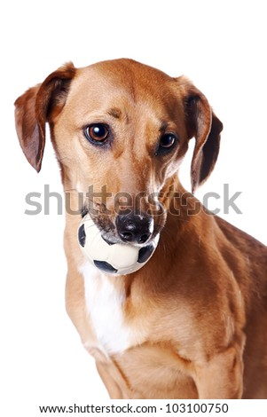 Red dachshund with a ball on a white background