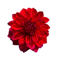 Red Dahlia flower isolated on white background