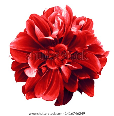 Photo of red  dahlia. Flower on the black isolated background with clipping path.  For design.  Closeup.  Nature.