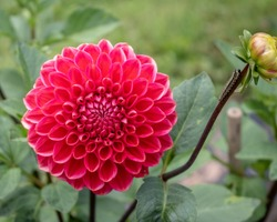 Red dahlia with a black swallowtail caterpillar