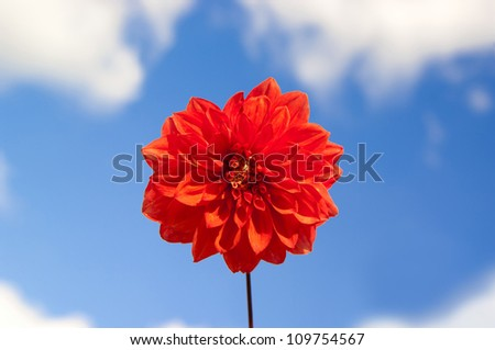 Red Dahlia with blue sky on the background