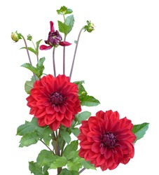 Red Dahlias flower plant isolated on white background