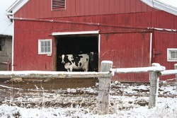 red dairy barn with cow