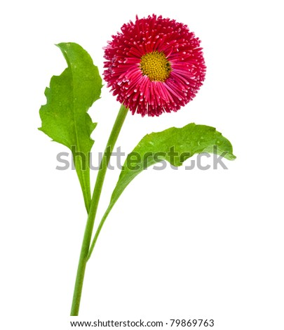 Red  Daisy Flower Isolated
