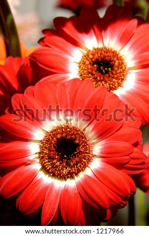 Red daisy flowers background