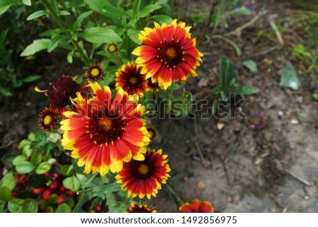 Red daisy flowers with yellow tips (Helen's flower) #1492856975