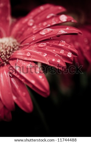 Red daisy macro with water droplets on the petals