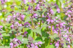 Red dead-nettle (Lamium purpureum) plant in flower. A plant with dark red flowers also known as purple archangle and purple deadnettle in the family Lamiaceae