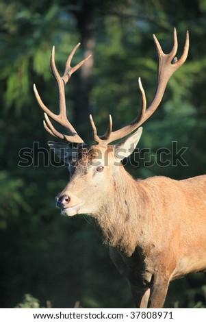 red deer #37808971