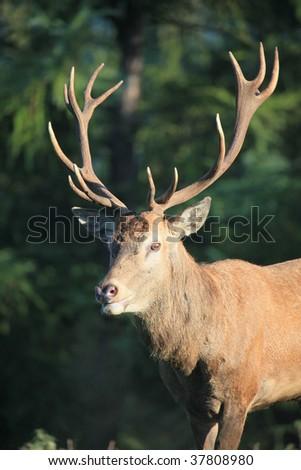 red deer #37808980