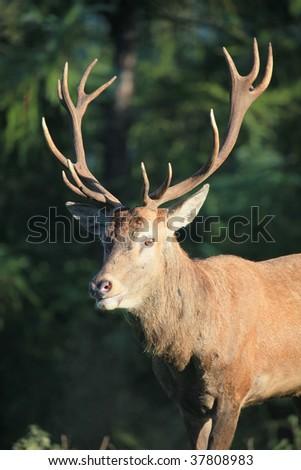 red deer #37808983