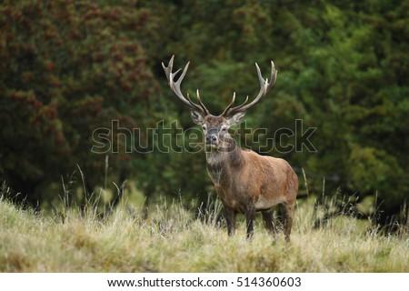 Red deer #514360603