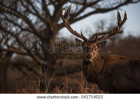 Red deer #541714021