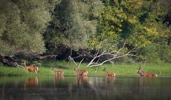 Red deer and hinds walking through water to forest. Wildlife in natural habitat