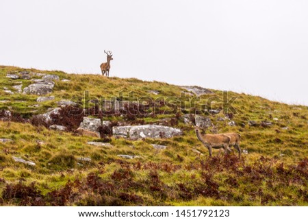 Red deer and stags on the isle of mull, Scotland ; Scottish Highlands #1451792123