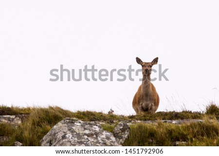 Red deer and stags on the isle of mull, Scotland ; Scottish Highlands #1451792906