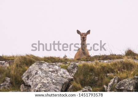 Red deer and stags on the isle of mull, Scotland ; Scottish Highlands #1451793578