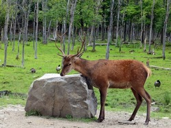 Red deer are ruminants, characterized by a four-chambered stomach. Genetic evidence indicates the red deer as traditionally defined is a species group,