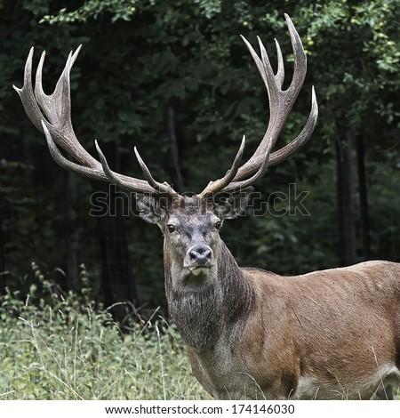 Red deer (Cervus elaphus) #174146030