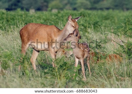 Red deer (Cervus elaphus) female hind mother and young baby calf having a tender bonding moment #688683043
