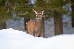 Red deer, cervus elaphus, female looking in forest in winter nature. Wild hind observing on snow from front. Mammal without antlers looking on snowy meadow.
