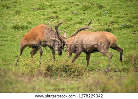 Red deer, cervus elaphus, fight during the rut. Wild stags in a struggle. Rivalry between wild bucks in matting season. Wildlife action scenery. #1278229342