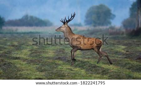 Red deer, (Cervus elaphus) in the morning in the meadow Zdjęcia stock ©