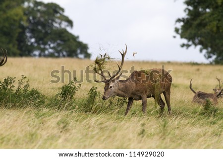 Red deer ( Cervus elaphus) in the wild