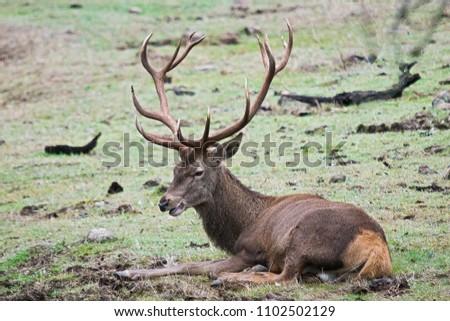 Red deer (Cervus elaphus) in the wild in Spain.